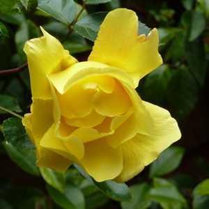 Rose Climbing Golden Showers (Climber) Yellow 4Ltr