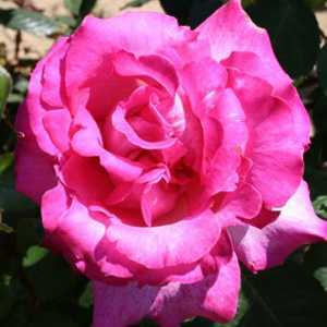 Rose Bush Hybrid Tea Prima Ballerina Bright Pink 4Ltr