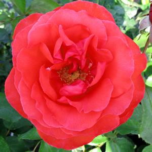 Rose Bush Hybrid Tea Fragrant Cloud (Tanellis) 4Ltr