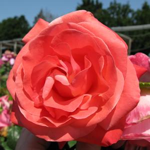 Rose Bush Hybrid Tea Silver Jubilee Pink/Peach 4Ltr