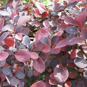 Berberis thunbergii Rose Glow Barberry Hedging 3.6ltr
