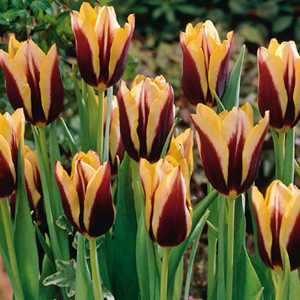 Tulip Bulbs Triumph Gavota 10 Per Pack