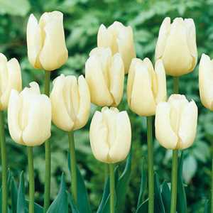 Tulip Bulbs Triumph Pays Bas 10 Per Pack