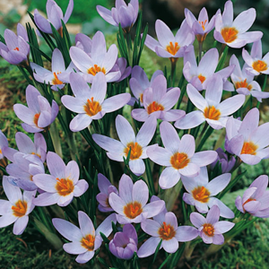 Crocus Bulbs Species Sieberi Violet Queen 20 Per Pack