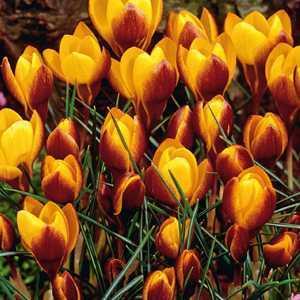 Crocus Bulbs Species Chrysanthus Fuscotinctus 20 Per Pack