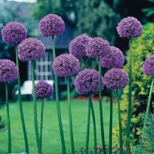 Allium Bulb Gladiator 1 Per Pack