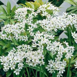 Allium Bulb Neapolitanum 20 Per Pack