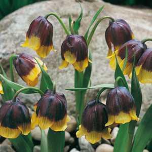 Fritillaria Michailowskyi Bulbs 5 Per Pack