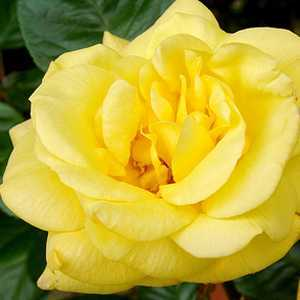 Rose Bush Arthur Bell Floribunda Rose Yellow 4Ltr