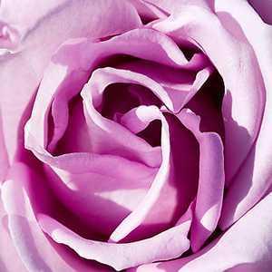 Rose Bush Blue Moon Hybrid Tea 4Ltr