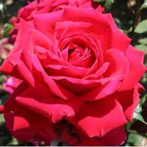 Rose Bush Deep Secret Hybrid Tea Red 4Ltr