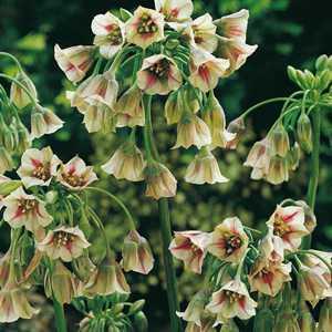 Nectaroscordum Bulgaricum Siculum Bulbs (Honey Lily) 5 Per Pack