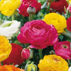 Ranunculus Peony Flowering Mixed Colours 10 Per Pack