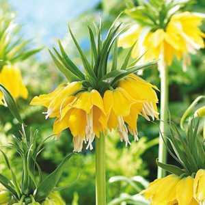 Fritillaria Imperialis Bulbs Yellow 1 Per Pack