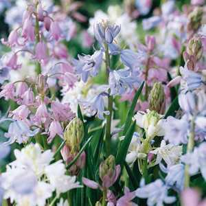 Hyacinthoides Hispanica Mixed Bulbs 10 Per Pack (Spanish Bluebells)