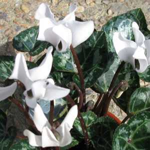 Cyclamen Mini Winter Potted  White 10.5cm