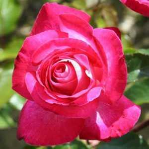 Rose Bush Hybrid Tea Rose Gaujard (Red & White) 4Ltr