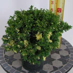 Chamaecyparis Pisifera Compacta Variegata (Cypress Conifer) 3Ltr