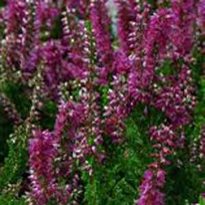 Calluna Vulgaris (Heather) Dark Pink 1ltr Pot