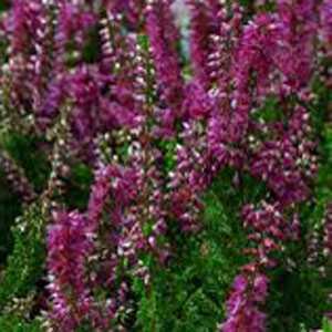 Calluna Vulgaris (Heather) Dark Pink 12cm Pot