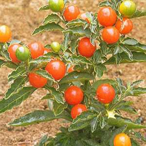 Solanum  Christmas Cherry 10.5cm