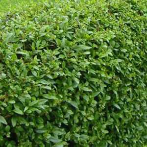 Ligustrum ovalifolium Common Green Privet