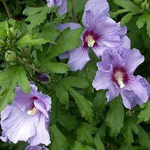 Hibiscus Syriacus Azure Blue (Rose of Sharon)
