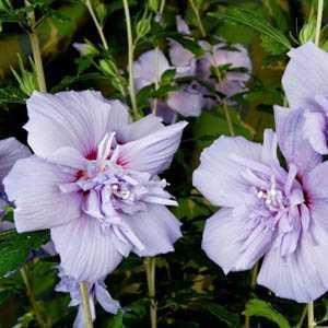 Hibiscus Syriacus Blue Chiffon (Rose of Sharon)