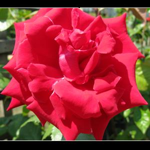 Rose Bush Hybrid Tea Uncle Walter Crimson/Scarlet 4ltr
