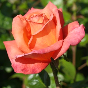 Rose Bush Hybrid Tea Rose Troika Bronze/Pink 4Ltr