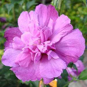 Hibiscus Syriacus Purple Ruffles (Rose of Sharon)