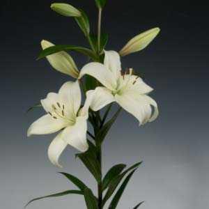 Lilium La Hybrid 'Ercolano' (Lily 'Ercolano') Bulbs 2 Per Pack