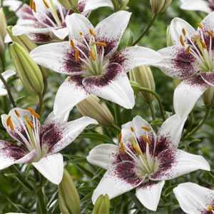Lilium Asiatic 'White Pixels' (Lily 'White Pixels') Bulbs 2 Per Pack