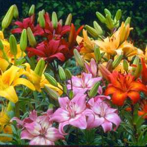 Lilium 'Asiatic Mixed' (Lily 'Asiatic Mixed') Bulbs 5 Per Pack
