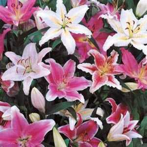 Lilium 'Oriental Mixed' Bulbs (Lily 'Oriental Mixed') Bulbs 5 Per Pack