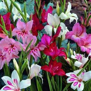 Gladioli 'Nanus Mixed' Bulbs 10 Per Pack