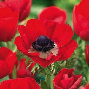 Anemone Bulbs Coronaria Hollandia 20 Per Pack