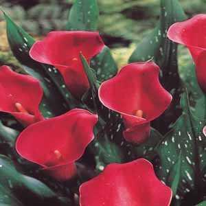 Calla Lily Carmin Red Zantedeschia Bulb 1 Per Pack