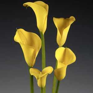 Calla Lily Yellow Zantedeschia Bulb 1 Per Pack