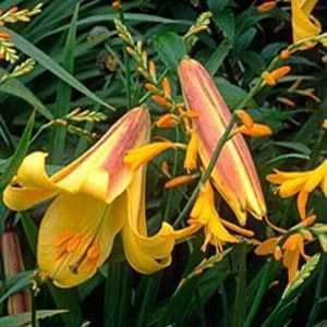 Crocosmia Montbretia Norwich Canary Bulbs 10 Per Pack
