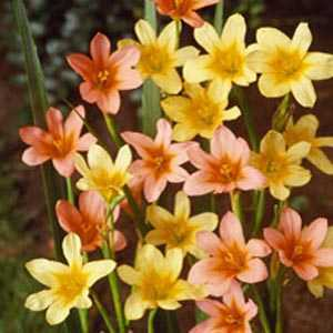 Homeria Mixed Fairy Cups Bulbs 15 Per Pack