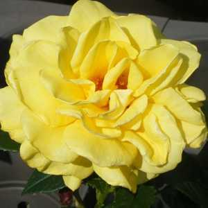 Rose Bush Golden Wedding (Arokris) Floribunda Rose Yellow 4Ltr