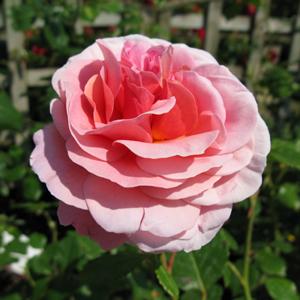 Rose Climbing Aloha (Climber/Rambler) Rose/Pink 4Ltr