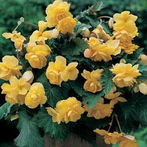 Begonia Cascade Yellow Bulbs 3 Per Pack