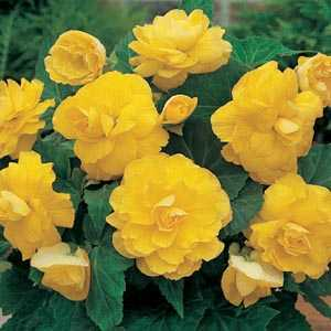Begonia Double Yellow Bulbs 3 Per Pack