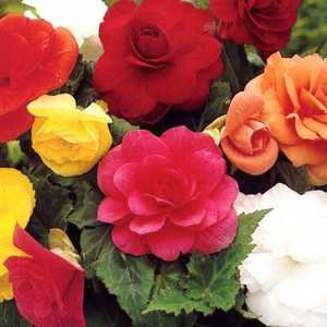 Begonia Double Mixed Bulbs 8 Per Pack