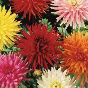 Dahlia Cactus Mixed Tubers/Bulbs 3 Per Pack