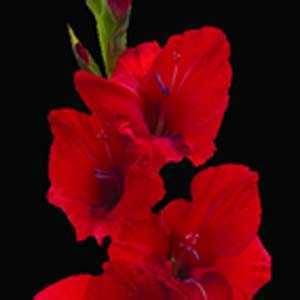 Gladioli (Gladiolus) Giant Flowering Red Bulbs 25 Per Pack