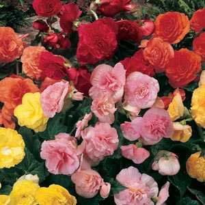 Begonia Non Stop Flowering Mixed Bulbs 3 Per Pack