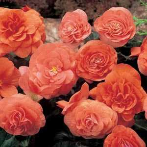 Begonia Non Stop Flowering Orange Bulbs 3 Per Pack